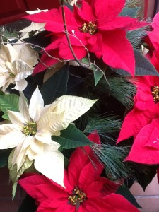 Christmas poinsetta  for website