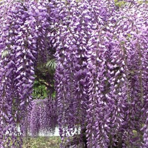 Wysteria at Longwood Gardens